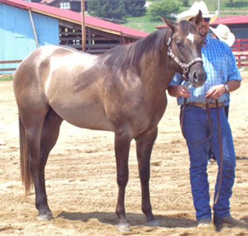stallion quarter horse twisted creek franklin nc